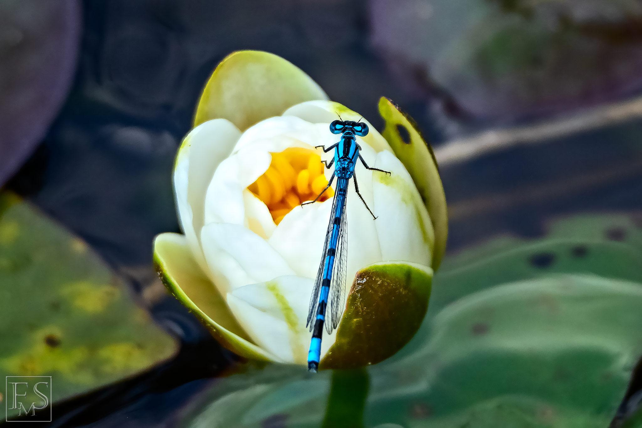 Blue Libella
